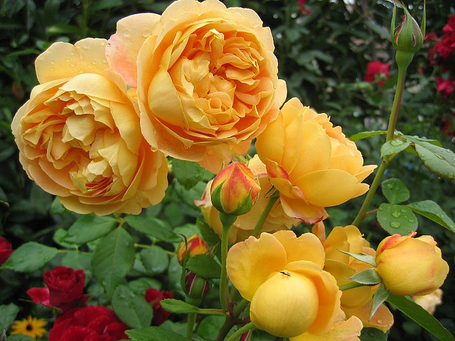 rosa-golden-celebration-1380323988_org
