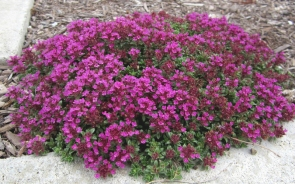 Creeping-Thyme-Red-1