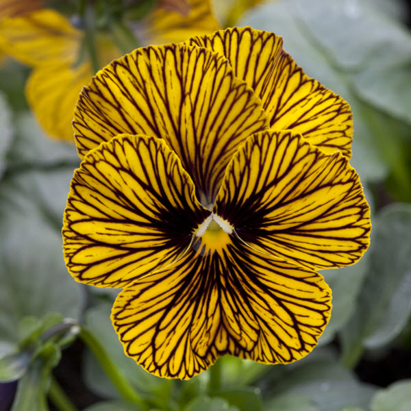 Viola Tiger Eye Yellow